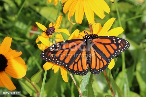 Close up aerial view of a Monarch Butterfly on a brown and yellow flower