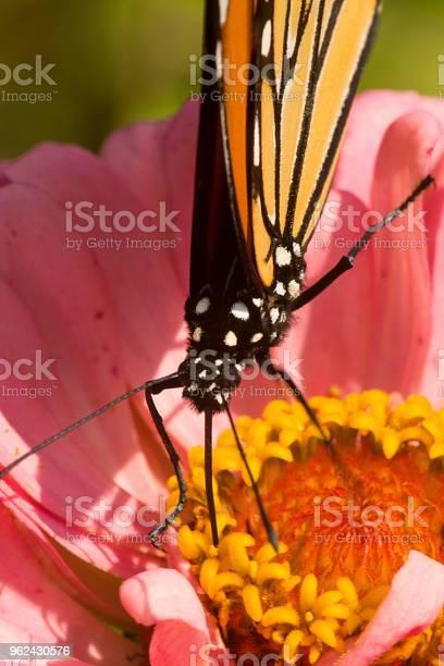 Monarch butterfly on a dahlia flower in connecticut picture id962430576?b=1&k=6&m=962430576&s=612x612&h=qn07ltg6w7dccaujfj2rtewgofqjmpy0qvnr cllnyy=