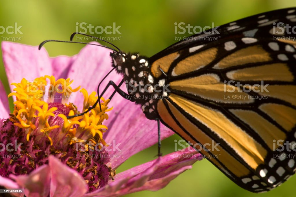 Monarch butterfly on a dahlia flower in Connecticut. stock photo