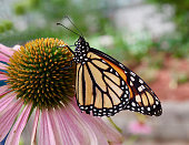 A Monarch butterfly feeding on a daisy close-up