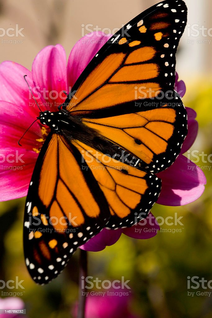 Monarch butterfly on a pink flower stock photo