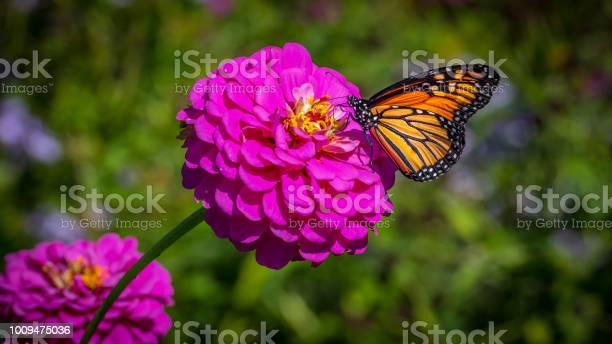 Monarch butterfly on a pink zinnia on a sunny autumn afternoon picture id1009475036?b=1&k=6&m=1009475036&s=612x612&h=6dtdpttgrmajeijsstqvvmqp4heothpiih92xdznb9m=
