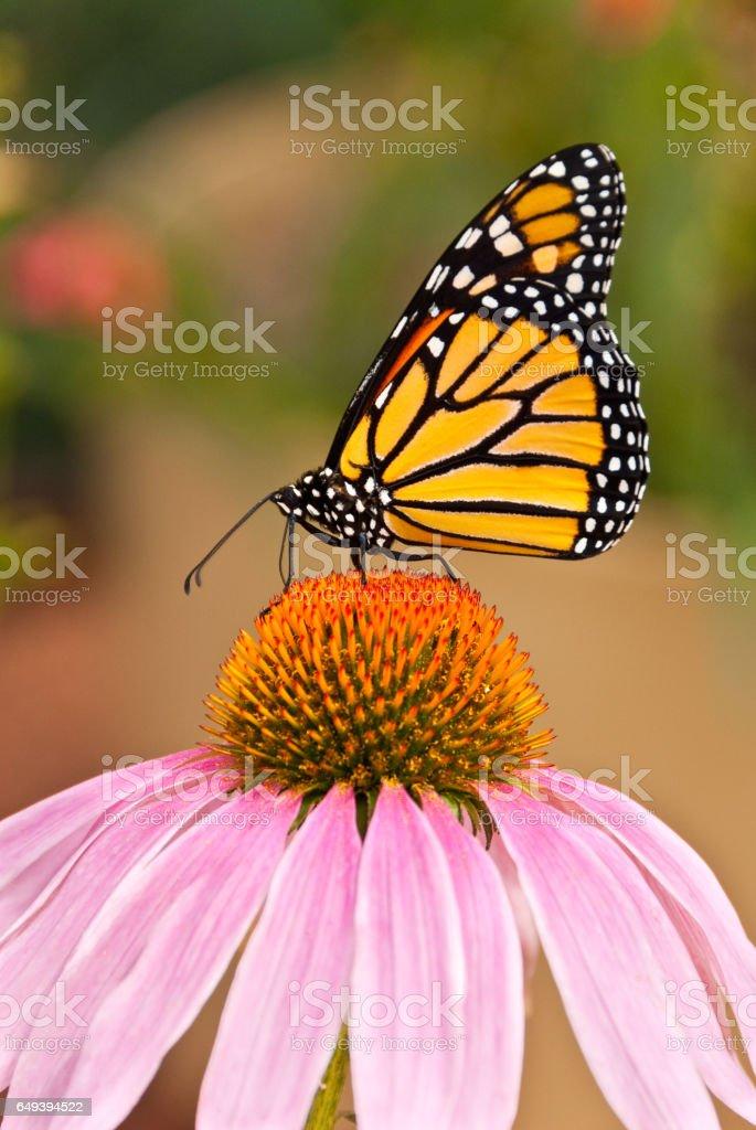 Monarch Butterfly on a Purple Coneflower stock photo
