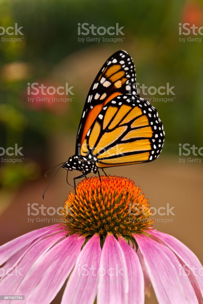 Monarch Butterfly on a Purple Coneflower stock photo