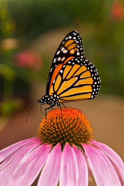 monarch butterfly on a purple coneflower - jeff goulden butterfly stock pictures, royalty-free photos & images
