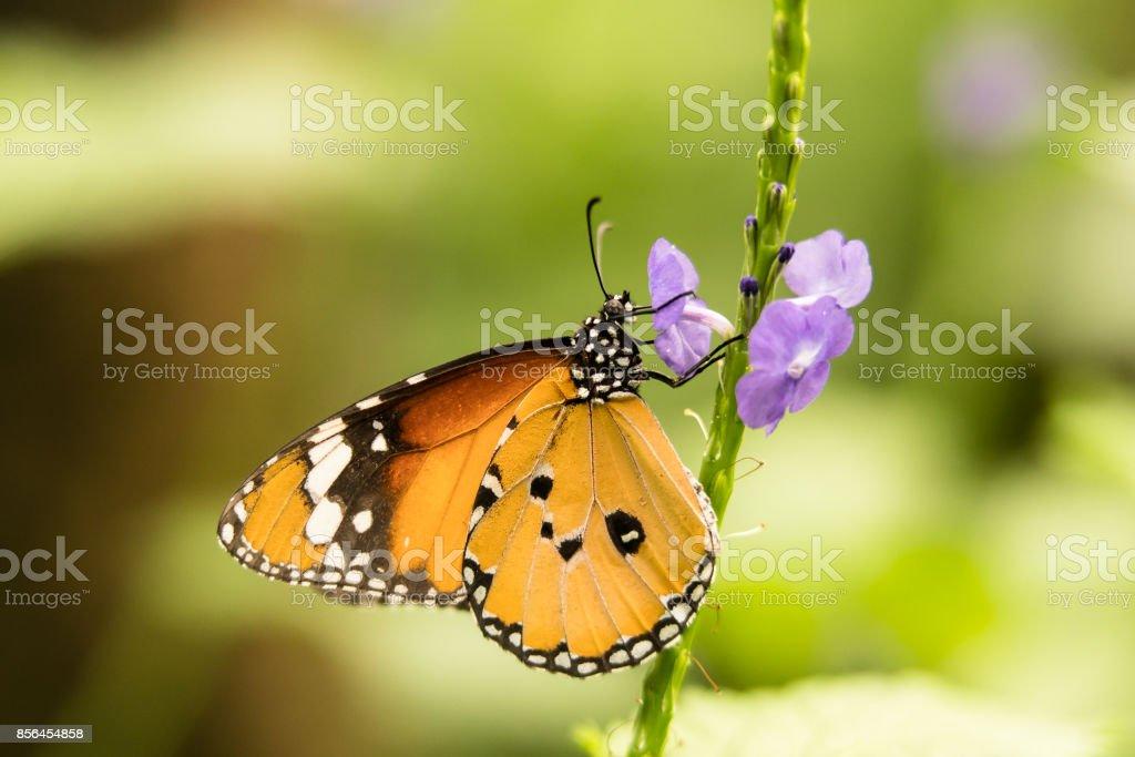 monarch butterfly on a purple flower stock photo