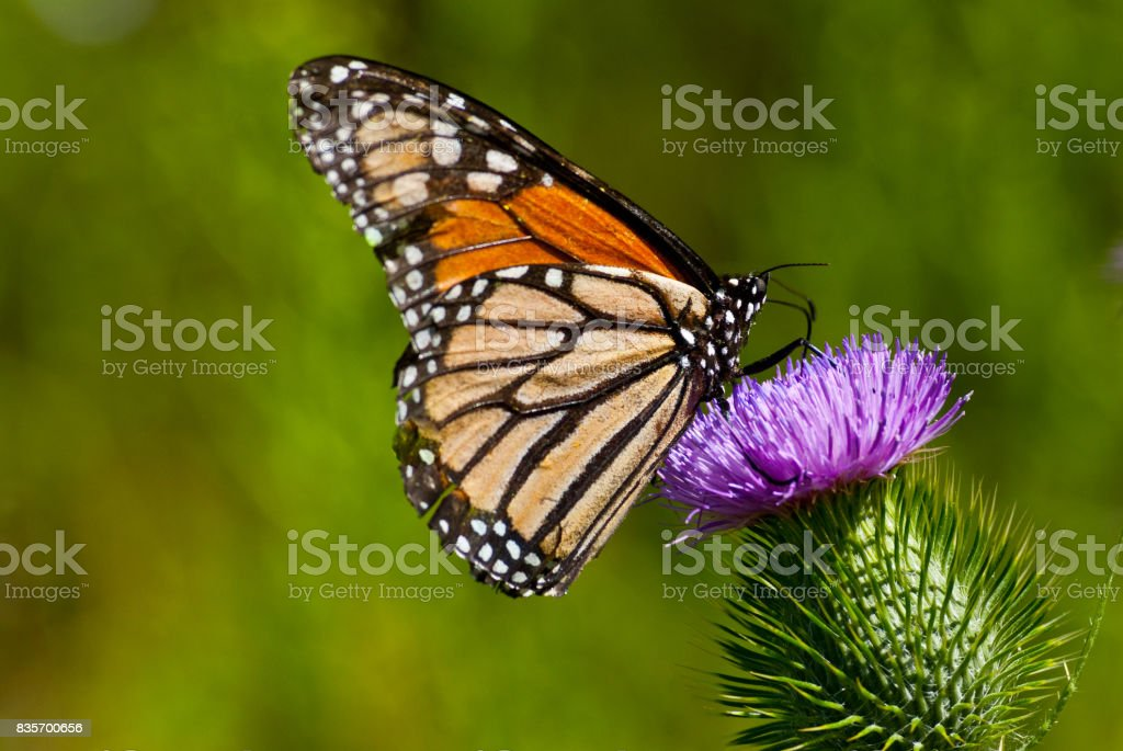 Monarch Butterfly on a Thistle stock photo