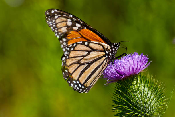 monarch butterfly on a thistle - jeff goulden butterfly stock pictures, royalty-free photos & images