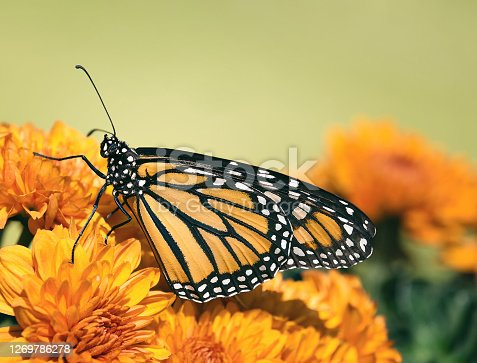 Monarch butterfly (Danaus plexippus) on chrysanthemum flowers during autumn migration. Natural green background with copy space