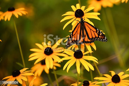 Monarch butterfly on a black-eyed susan daisy taken at Brookside Gardens butterfly house.