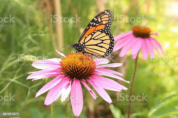 Monarch butterfly on blacksamson echinacea flower picture id481051872?b=1&k=6&m=481051872&s=612x612&h=wtr7tjtyu13 zulsvbcw93ud9c3o59wtkfsvgq1kzjg=