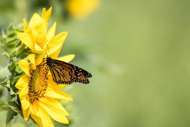 Monarch butterfly on bright yellow sunflowers picture id1174319844?b=1&k=6&m=1174319844&s=612x612&w=0&h=ezfmobksqkjjutdczpjyx5ysokbu astsyq9xnf6bdk=
