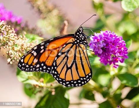 Monarch Butterfly landed on Butterfly Bush (Budleia)