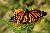 A Monarch Butterfly feeds on orange Butterfly Weed Flowers in the garden.