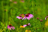 Close-Up of Monarch Butterfly on Pink coneflower with Selective Focus