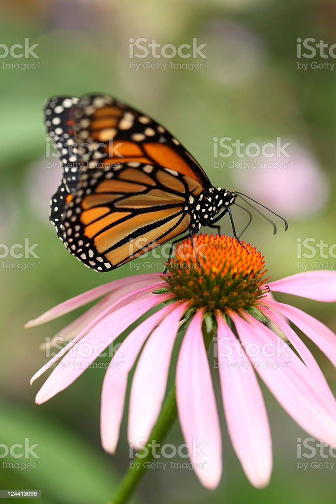 Monarch butterfly on Echinacea Coneflower royalty-free stock photo