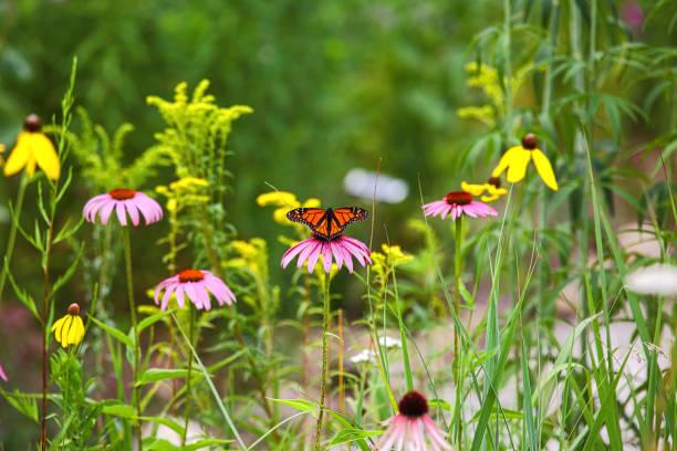 Monarch butterfly on flower closeup picture id1060712506?b=1&k=6&m=1060712506&s=612x612&w=0&h=t0etmqhws2banvhufgqihinisxvzwtf4s9xdqt7wltk=