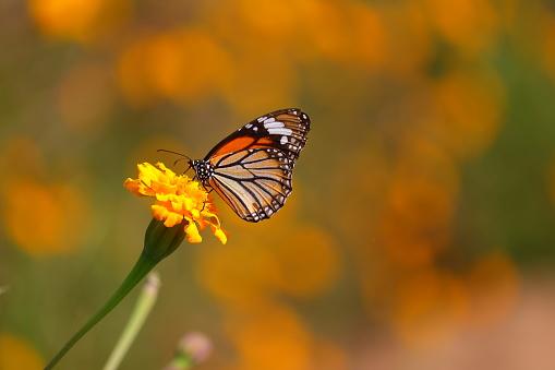 monarch butterfly feeding juice on marigold flowers in formal garden