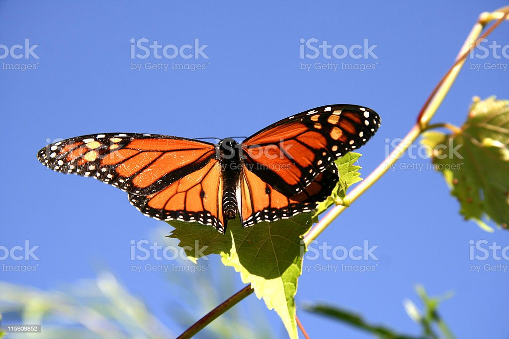 Monarch Butterfly on Grapes royalty-free stock photo