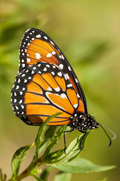 Monarch butterfly on green background stock photo