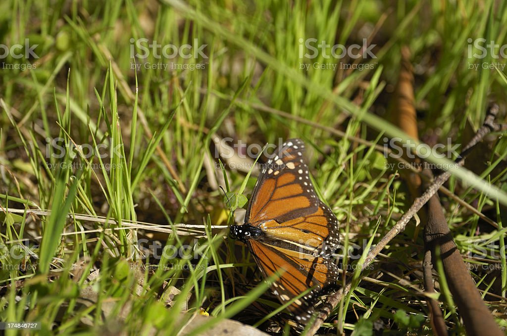 Monarch Butterfly on Ground stock photo