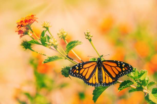 Monarch butterfly on lantana flowers picture id1224920943?b=1&k=6&m=1224920943&s=612x612&w=0&h=vtkxbvvlki93wr005b jzzcnoi5slizwqk2flwyjiho=