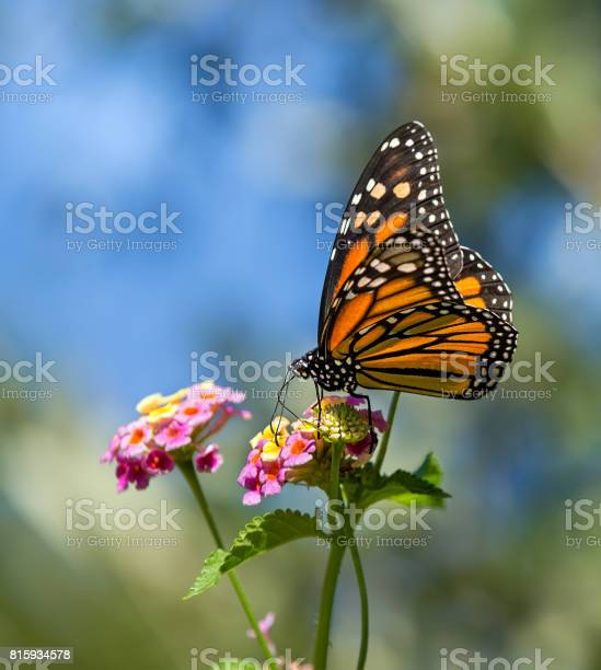 Monarch butterfly on lantana flowers picture id815934578?b=1&k=6&m=815934578&s=612x612&h=j8rzkv23m5otgmdgebomno3gmqdg lzzfplebw6kesk=