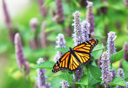 A female Monarch Butterfly (Danaus plexippus) is resting on a lavender Anise Hyssop (Agastache foeniculum) blossom.
