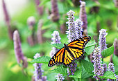 A female Monarch Butterfly (Danaus plexippus) is resting on a lavender Anise Hyssop (Agastache foeniculum) blossom.