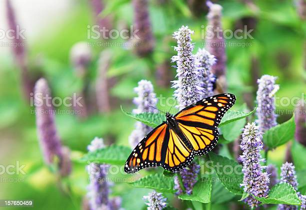 Monarch butterfly on lavender anise hyssop blossom picture id157650459?b=1&k=6&m=157650459&s=612x612&h=stnopveostvg47fbdif gujoznaq diko99zg g2leu=