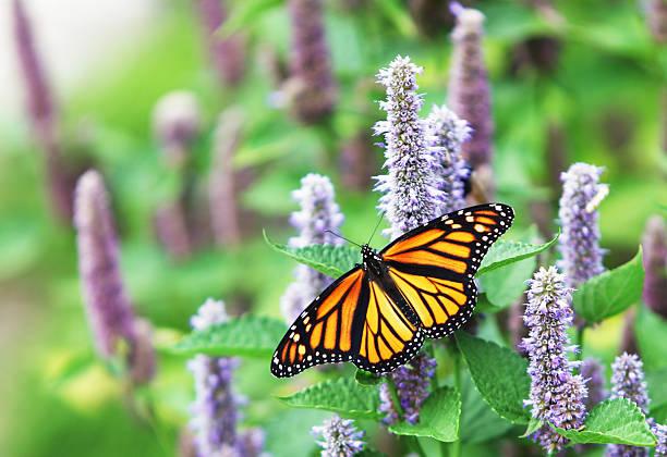 monarch butterfly (danaus plexippus) on lavender anise hyssop blossom - bestuiving stockfoto's en -beelden