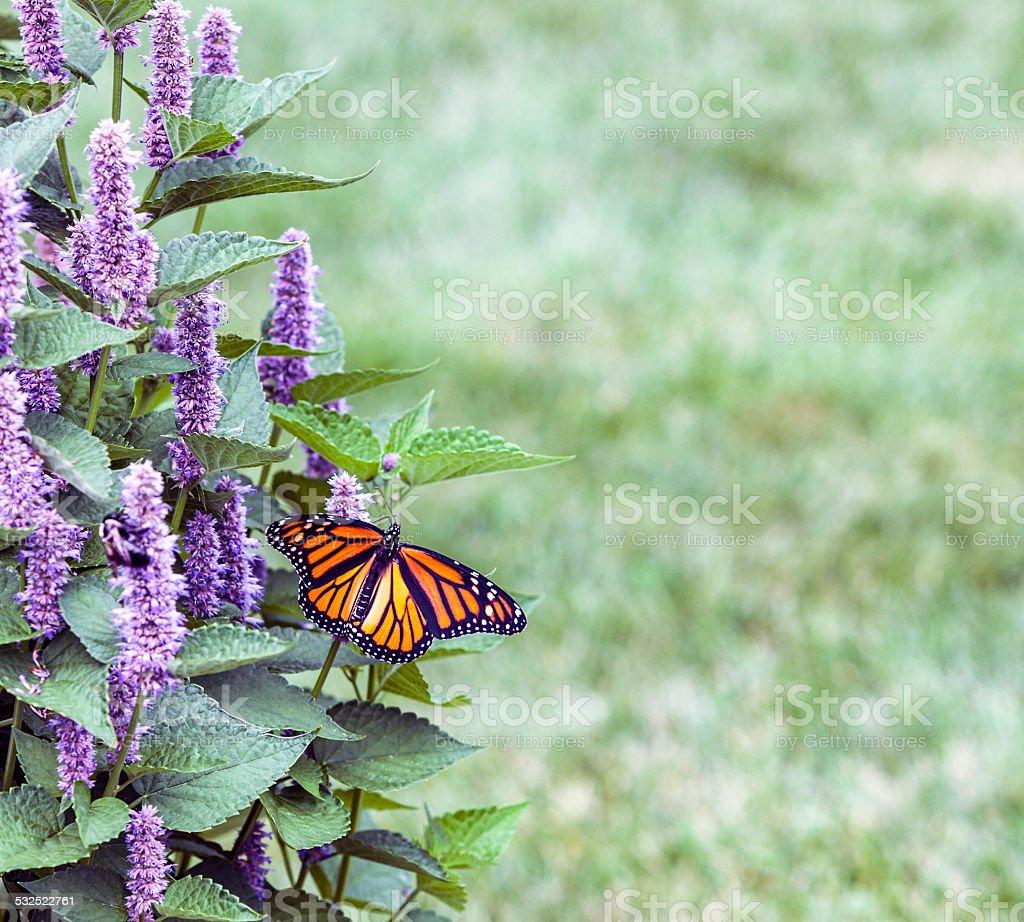 Monarch (Tiger plexippus) auf Lavendel Anis Ysopkraut Blossom – Foto