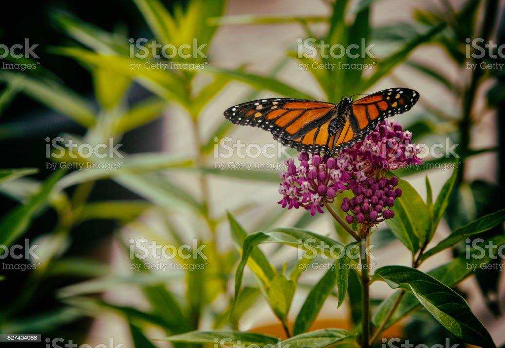 Monarch Butterfly on Milkweed stock photo