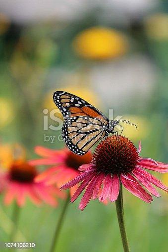 Monarch Butterfly in a garden of cornflowers
