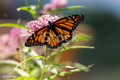 monarch butterfly feeding on pink milkweed flowers in summer