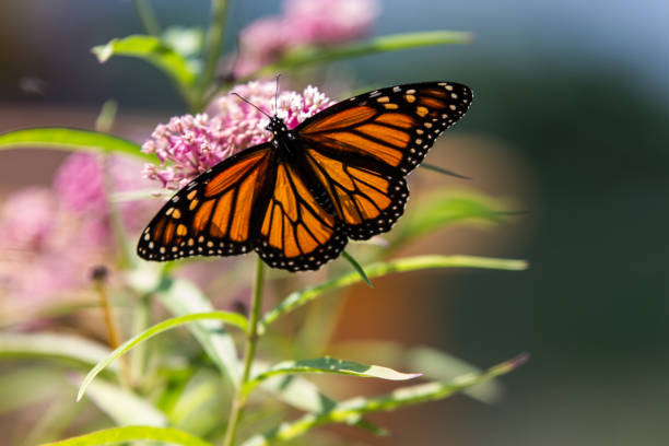monarch butterfly on pink milkweed stock photo
