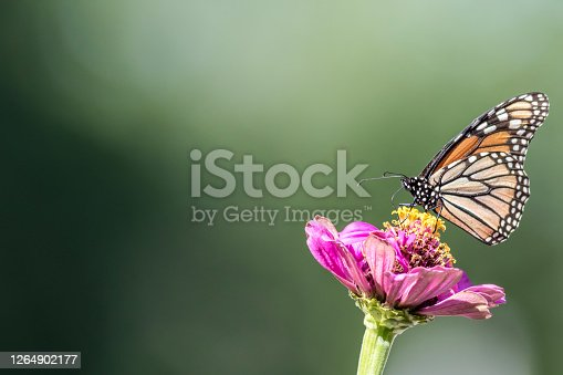 Monarch Butterfly, Danaus plexippuson,  on Pink Zinnia green background copy space