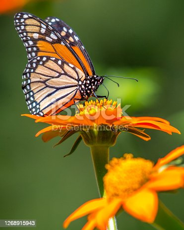 Monarch butterfly on plants and flowers