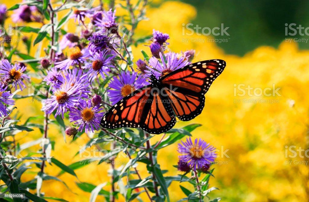 Monarch Butterfly On Purple Aster Flower Stock Photo