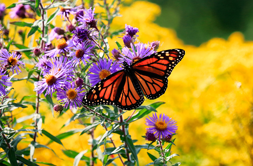 Monarch betterfly on its migration route feeding on the nectar of Purple-stemmed Aster (Symphyotrichum puniceum) and godenrod flowers along waterfront trail, Toronto, Ontario, Canada