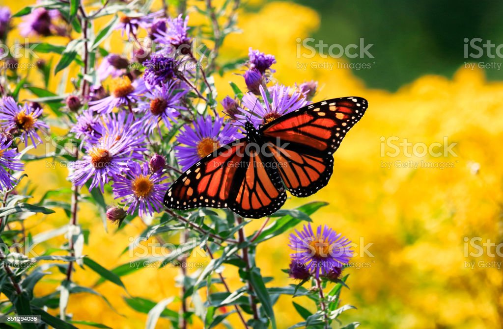 Monarch-Schmetterling auf Blüte lila Aster – Foto