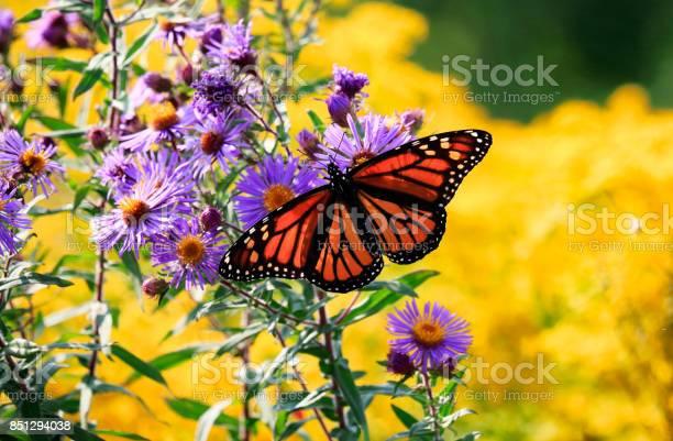 Photo of Monarch Butterfly on Purple Aster Flower