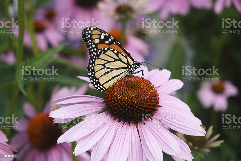 Monarch Butterfly on Purple Coneflower royalty-free stock photo