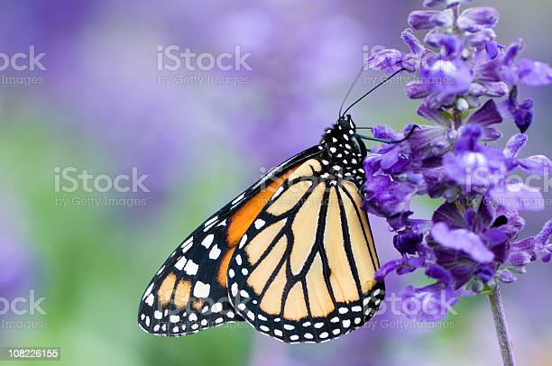Monarch butterfly on purple flower picture id108226155?b=1&k=6&m=108226155&s=612x612&h=bfgpa9dcezlll4eecwz0pbqiuk7bl1yupvozr2ltu9w=