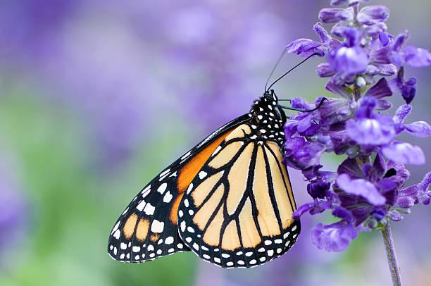 Monarch butterfly on purple flower picture id108226155?b=1&k=6&m=108226155&s=612x612&w=0&h=cy wqsxuktteoh1leooaqvl761ppg4wgqylihzkj oc=