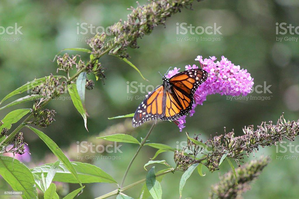 Monarch Butterfly on Purple Flower stock photo