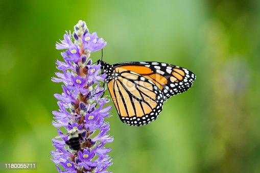 Monarch Butterfly on Purple Pickerel Rush flower