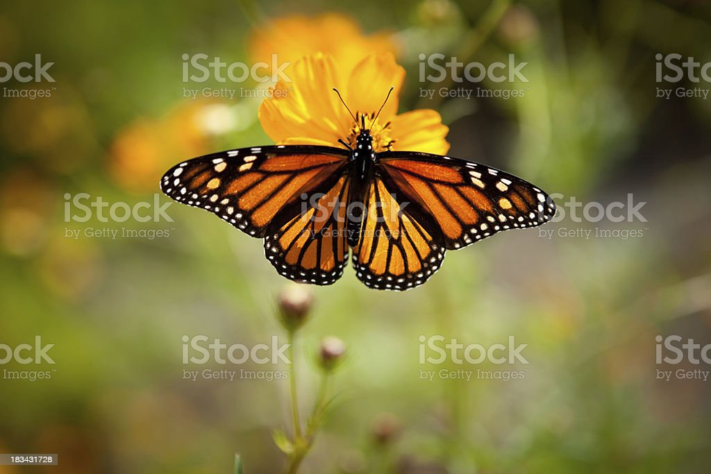 """Monarch Butterfly on Single Yellow Flower Outside """"Color photo of a monarch butterfly with wings spread on a single, yellow flower outside."""" Animal Stock Photo"""