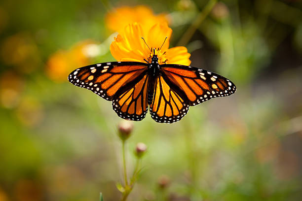 Monarch Butterfly on Single Yellow Flower Outside stock photo