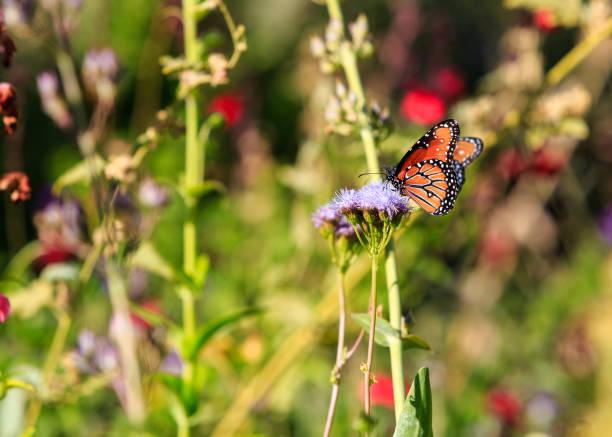 Monarch butterfly on spring wildflowers picture id959740222?b=1&k=6&m=959740222&s=612x612&w=0&h=coktqmkyyygg8 daljzyjdpvmsg31ltzrtozfovghg4=